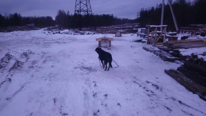 «Вытащили из будки»: на промзоне возле Верхних Валдушек волки напали на собаку