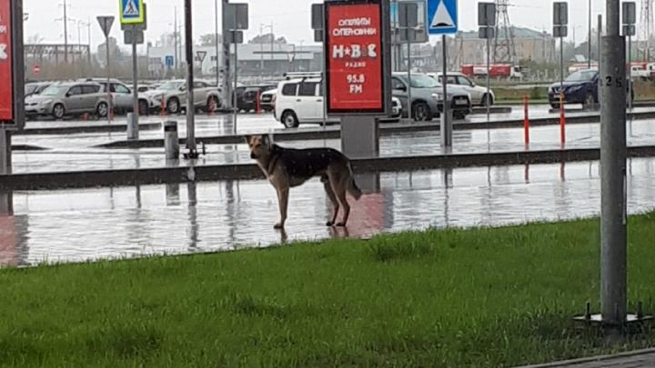 «Подходит к прилетающим, смотрит в лицо». В пермском аэропорту ищут хозяина пса, живущего у здания