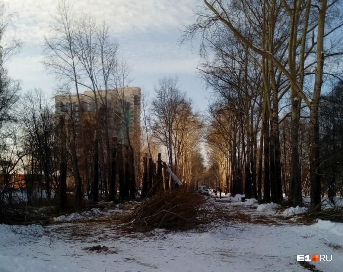 От тополей остались огрызки высотой пять-шесть метров