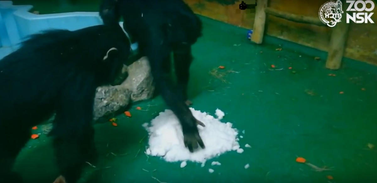 Шимпанзе Филя и Люся познакомились со снегом