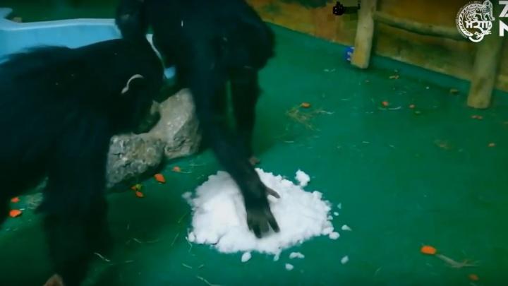 Шимпанзе впервые увидели снег в новосибирском зоопарке — они попробовали его на вкус