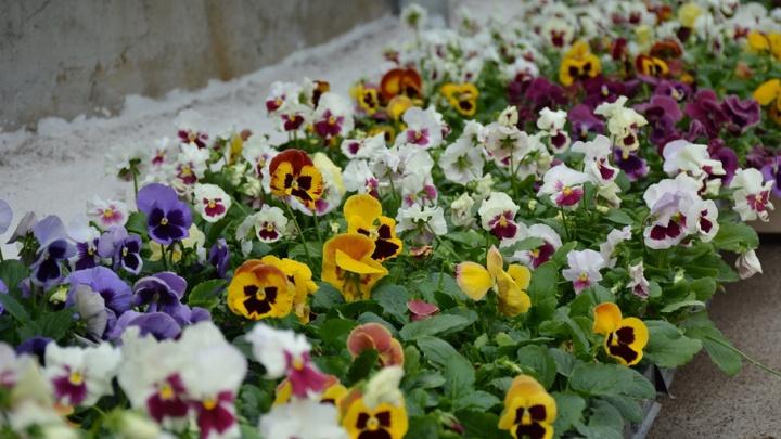 В Уфе на городских клумбах к 9 Мая посадят более миллиона цветов