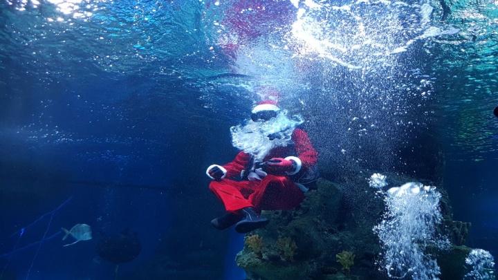 Видео: отчаянный новосибирский Санта-Клаус спустился под воду к акулам