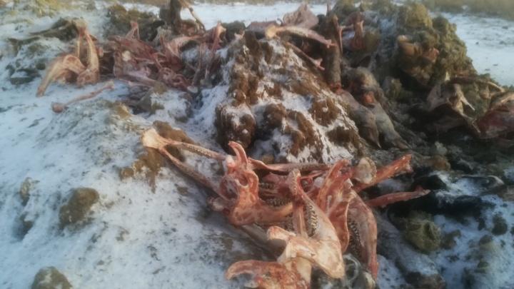 В Омской области нашли огромный нелегальный скотомогильник