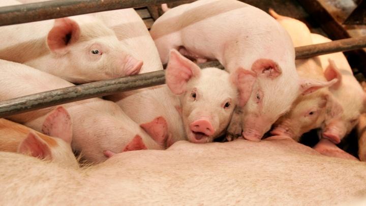 В пожаре на крупнейшем свинокомплексе Свердловской области погибли шесть сотен поросят
