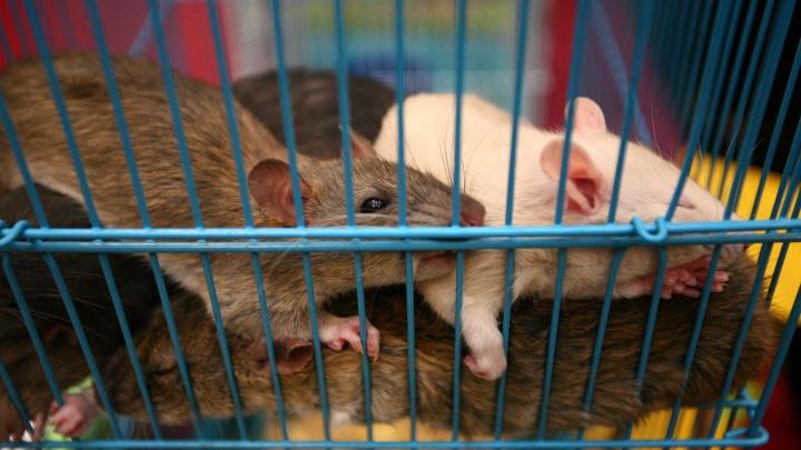 Под Новосибирском появились опасные мыши — их инфекция приводит к язвам