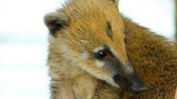 «Он прижался к клетке, а носуха расцарапала ему лицо»: в зоопарке на ребёнка напало животное