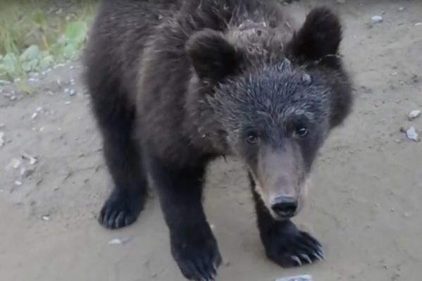 Медведь сел напротив машины и ждет лакомства
