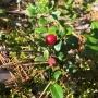 Тюменцы собирают в лесах полезную бруснику и последнюю чернику: рассказываем про ягодные места