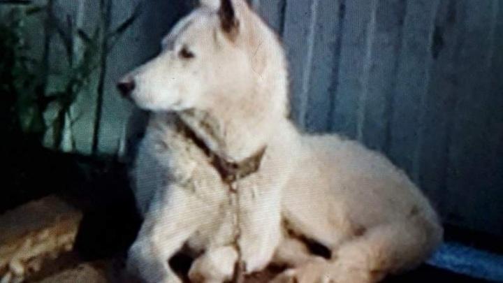 Раскрыта личность убивавшего домашних собак красноярского живодера