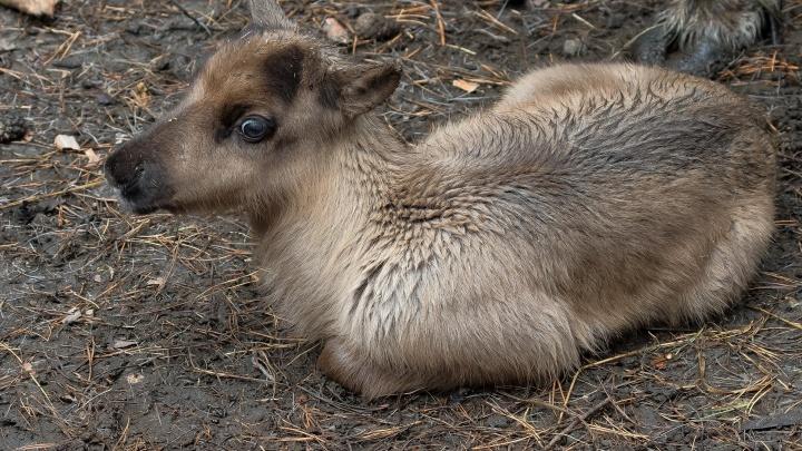 Фото: в Новосибирском зоопарке родились северные оленята