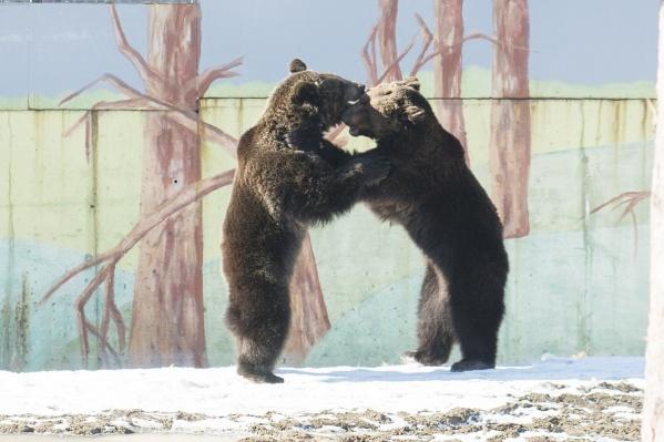 В спячку медведей проводили в конце ноября