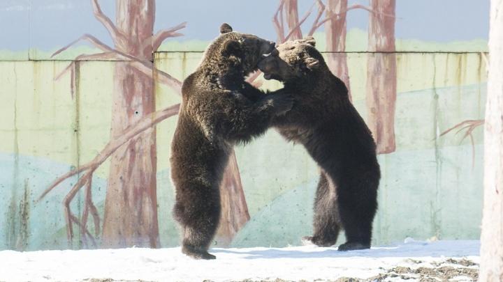 Ярославцам предлагают приготовить угощение для медведей