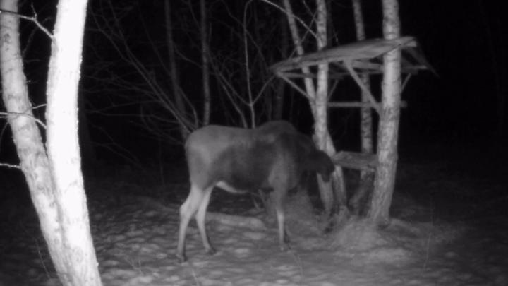 Чтобы рога были крепче: в Башкирии фотоловушка засняла лося, кормившегося солонцом