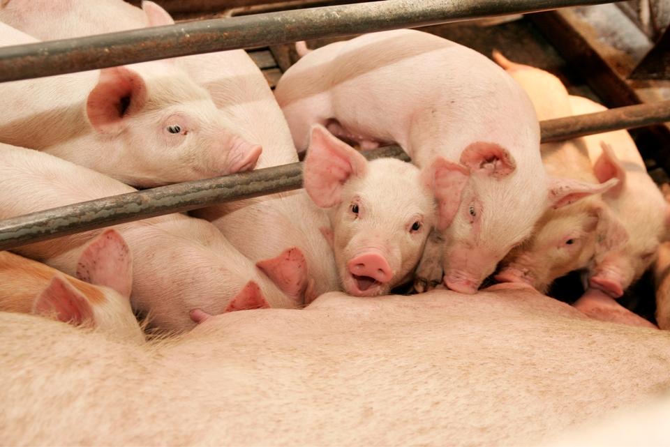«Хороший вкус» будет перерабатывать 40% мяса, которое выпускает свинокомплекс «Уральский»