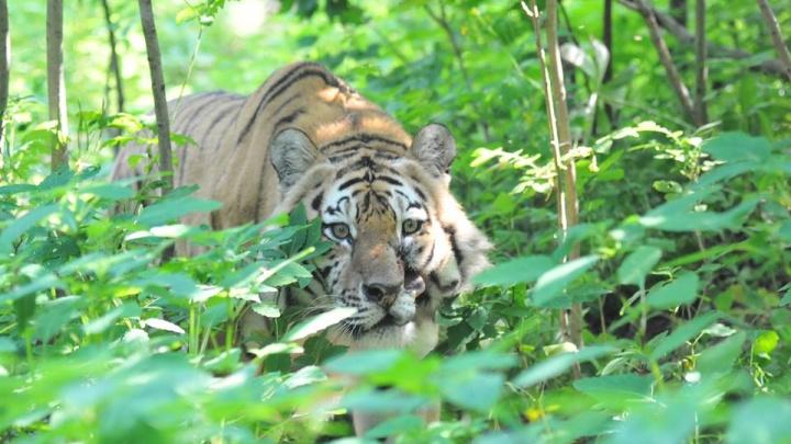 В Японии вышла книга о челябинском тигрёнке Жорике