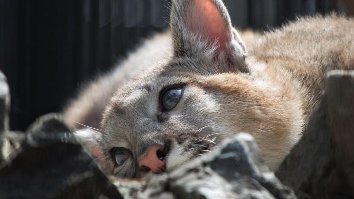 Пуме из Новосибирского зоопарка сделали новую игрушку — она играет, как домашняя кошка