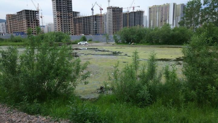 Протока у «Белых рос» покрылась тиной и превратилась в болото