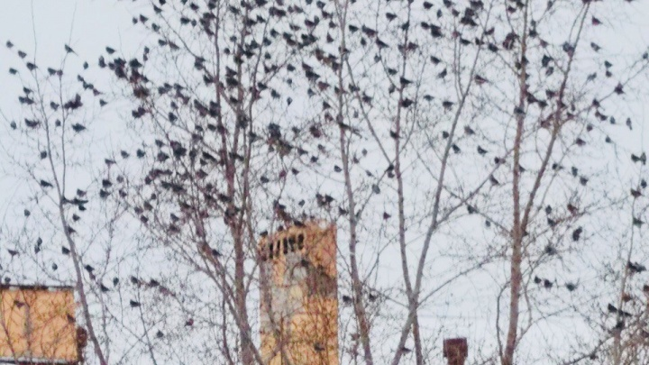 Стая из сотен дроздов окружила резиденцию сибирского полпреда