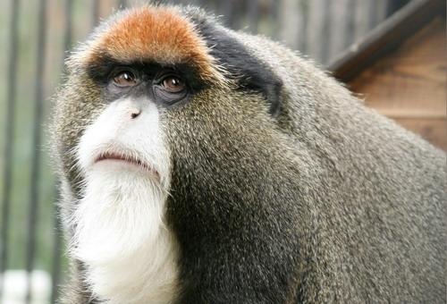 Мартышки Бразза живут в Новосибирском зоопарке с 2005 года