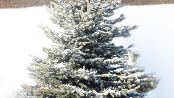 Новосибирцам предложили живые деревьявместо срубленных новогодних елей