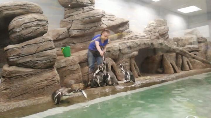 Видео: сотрудники зоопарка покормили перед новосибирцами пингвинов