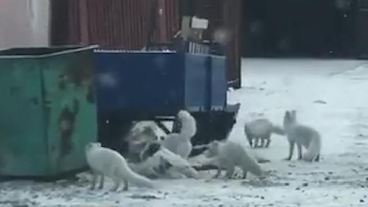 Видео: десяток забавных песцов заметили за играми около Дудинки
