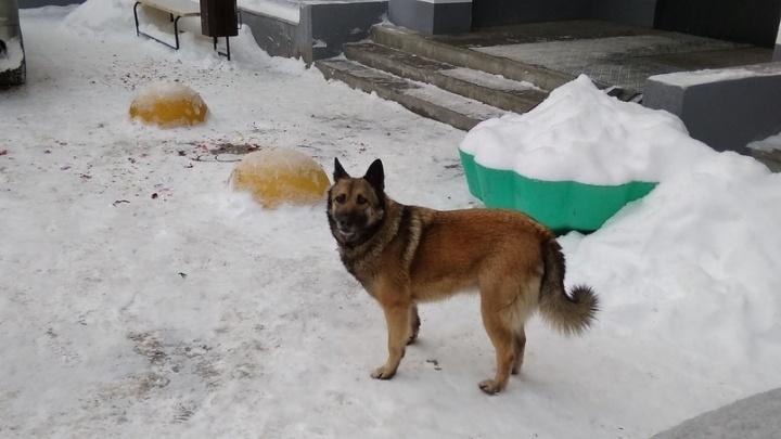 Десятки тюменских собак пропали в новогоднюю ночь, испугавшись громких фейерверков