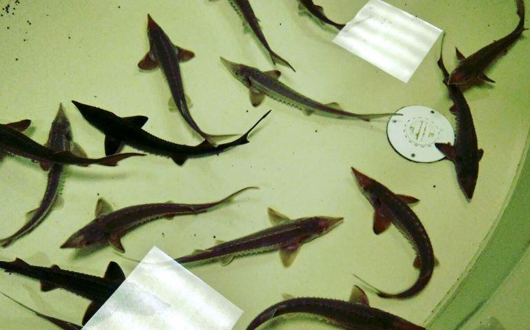 ВНовосибирске начнут растить редкие виды рыб
