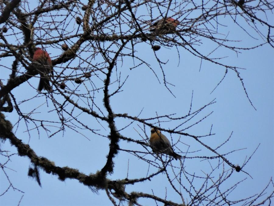 На «Столбах» встретили яркую птичку щур