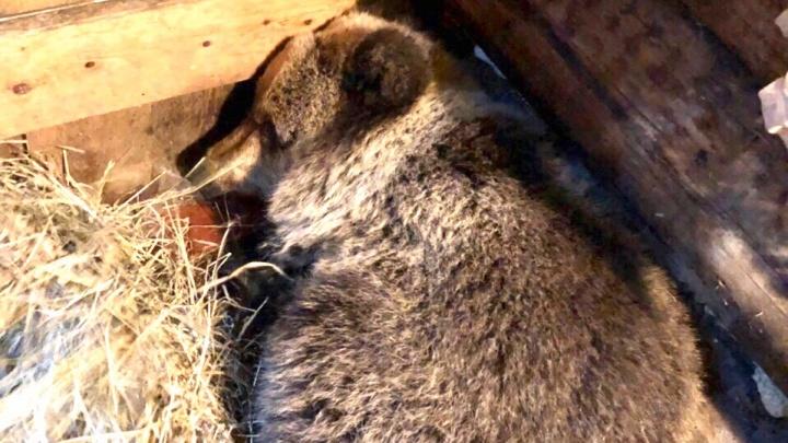 Малыш истощен: раненого медвежонка из Онеги поймали и готовят к отправке в центр реабилитации