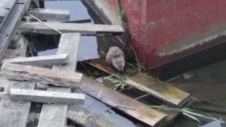 Работник рыбхозяйства целился в ондатру, но поскользнулся и выстрелил в женщин