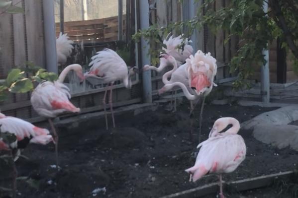 Розовый фламинго стал задирать своего соседа