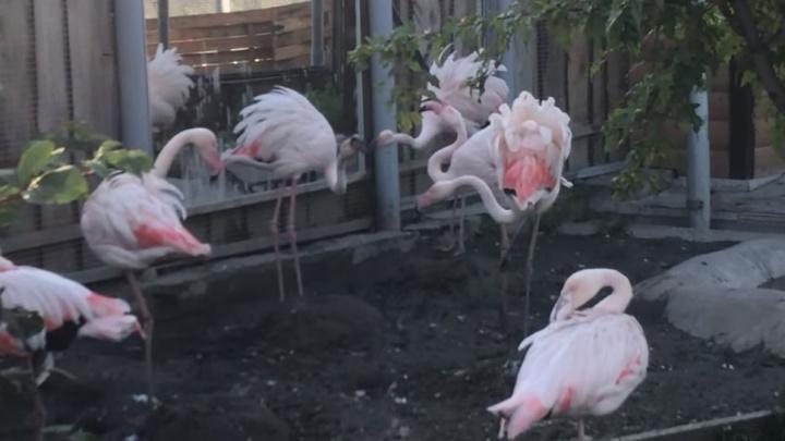 Розовых фламинго застали за брачными играми