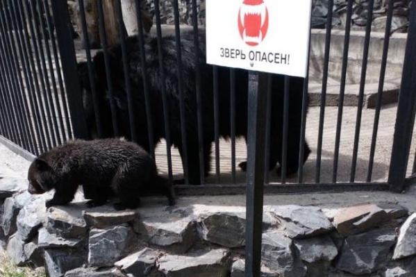 Медвежата смогли пролезть сквозь прутья клеток, так как они маленькие