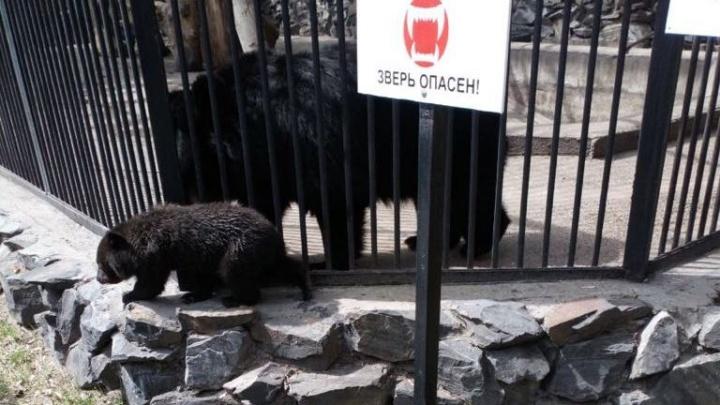 Видео: медвежата выбрались из клетки и начали бегать по Новосибирскому зоопарку