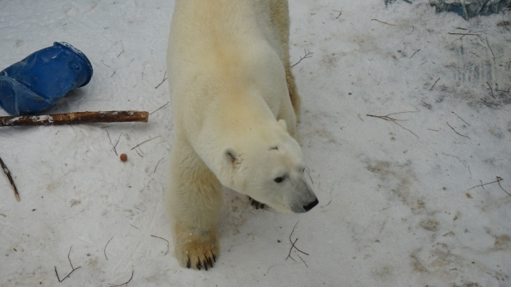 Облизывали и грызли: мишки из Екатеринбургского зоопарка получили новогодние леденцы