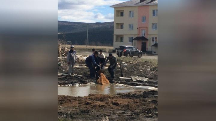 По самые рога: в Башкирии корова провалилась в глубокую лужу