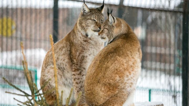 Нежно умывающих друг друга рысей засняли в красноярском зоопарке