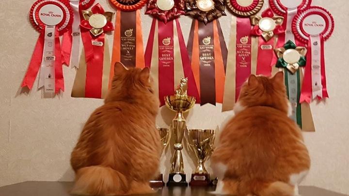Ее величество — кошка: омичей приглашают на международную выставку «Кошачьи валентинки»