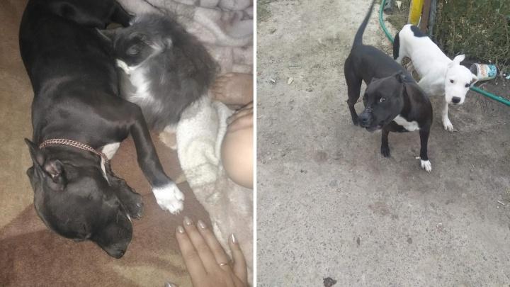 Убийство бойцовской собаки, бегающей по улице без намордника, обернулось для тюменца уголовным делом