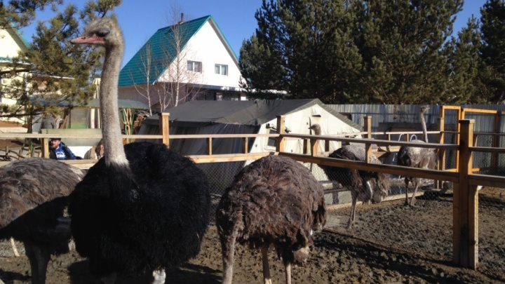 В Челябинской области построят самую большую на Урале страусиную ферму