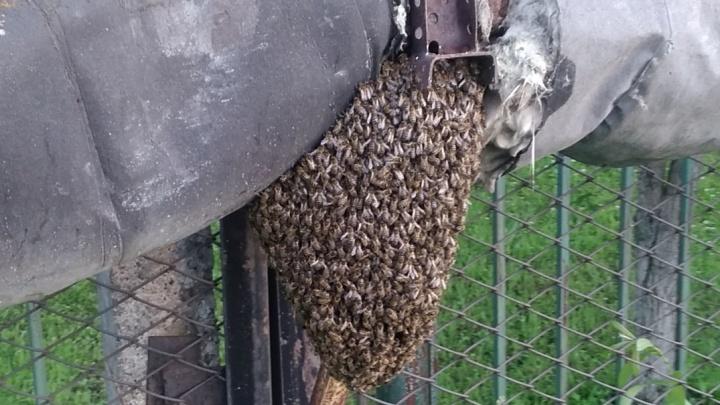 Пермяки всё чаще видят рои пчёл — то на трубах, то на асфальте. Это нормально?