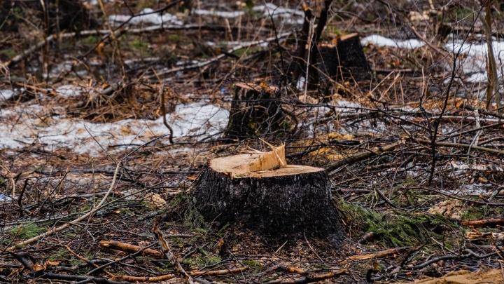 На трёх участках в микрорайоне Водники в Перми массово вырубают деревья. Кто и зачем это делает?