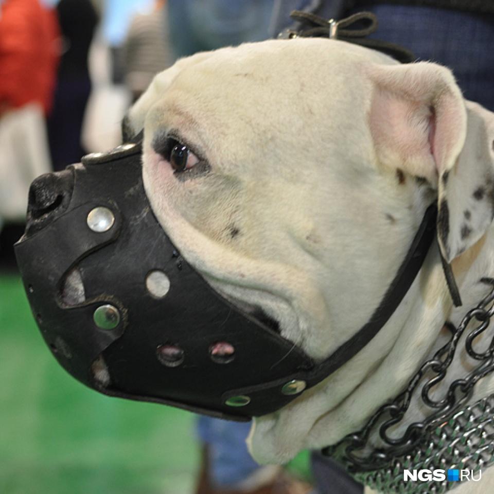 Независимо от места выгула намордник с собаки снимать нельзя