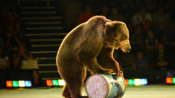 «Пристрелить денег нет»: дрессировщица не может прокормить пятерых медведей и не знает, куда их деть