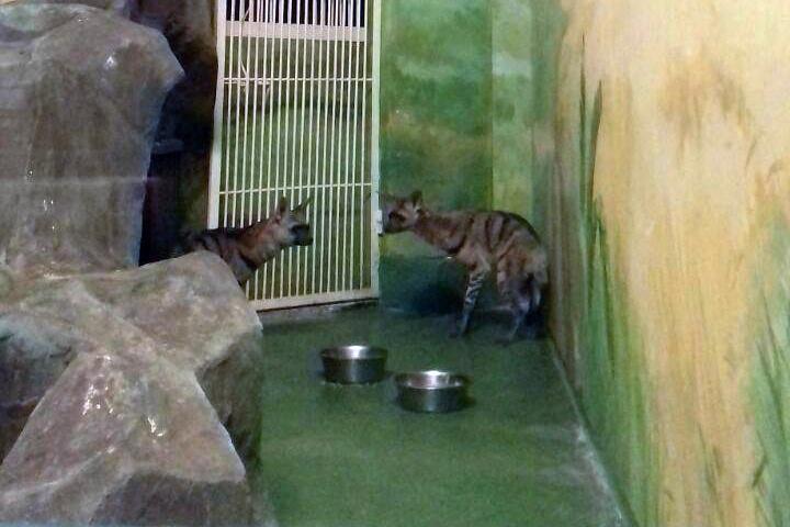 Редкие земляные волки поселились вНовосибирском зоопарке