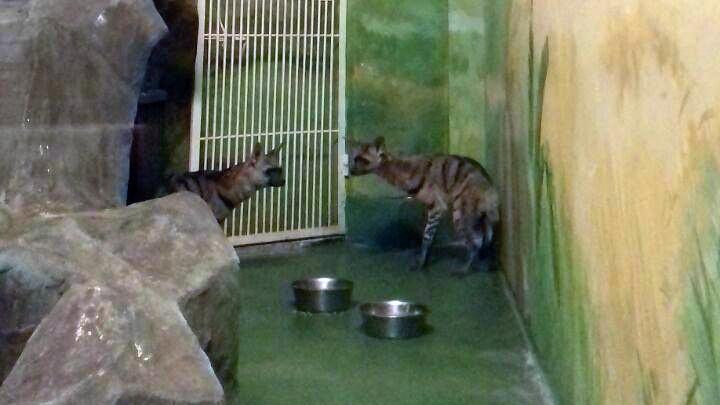 В Новосибирском зоопарке поселились бородачи и земляные волки