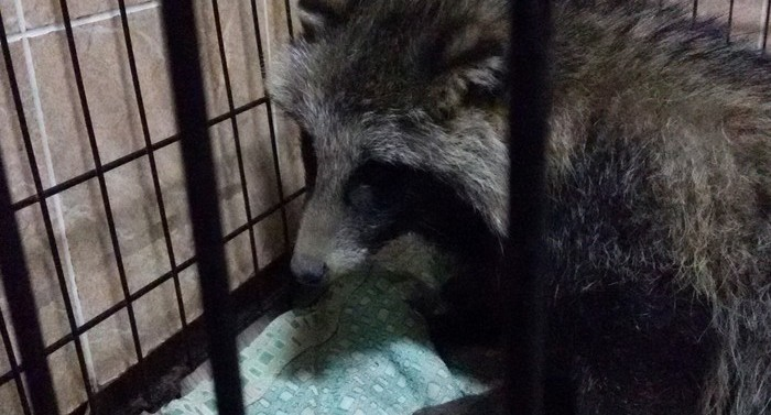 В посёлок под Асбестом пришла раненая енотовидная собака