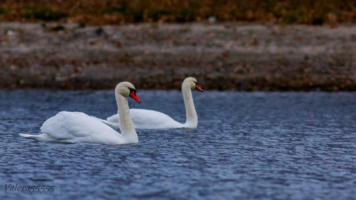 Лебединое озеро: в Волго-Ахтубинской пойме обосновались лебеди